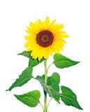 красивейший солнцецвет Стоковое Изображение