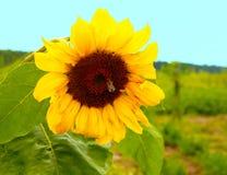 красивейший солнцецвет цветка Стоковые Фотографии RF