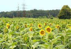красивейший солнцецвет цветка Стоковое Фото