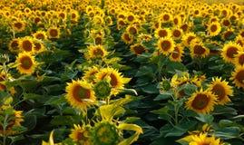 красивейший солнцецвет цветка Стоковая Фотография RF