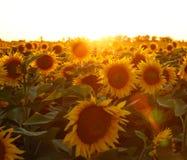 красивейший солнцецвет цветка Стоковое Изображение RF