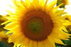 красивейший солнцецвет цветка Стоковые Изображения