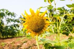 красивейший солнцецвет Стоковое фото RF