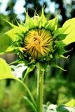 красивейший солнцецвет Стоковые Фотографии RF