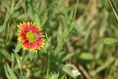 красивейший солнцецвет Стоковые Фото