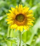 красивейший солнцецвет Стоковое Фото