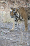 красивейший тигр Бенгалии Стоковая Фотография