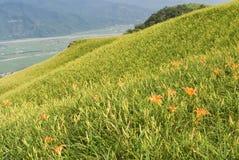красивейший тигр лилии фермы Стоковое Изображение