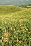 красивейший тигр лилии фермы Стоковое фото RF