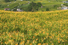 красивейший тигр лилии фермы Стоковое Фото