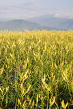 красивейший тигр лилии фермы Стоковые Изображения