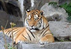 красивейший тигр портрета Стоковые Изображения