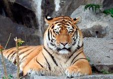 красивейший тигр портрета Стоковые Фото