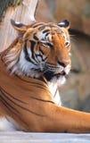 красивейший тигр Стоковое Фото