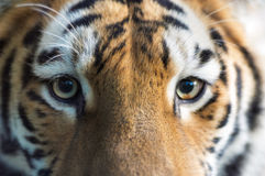 красивейший тигр Стоковая Фотография