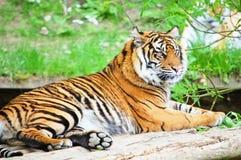 красивейший тигр Стоковое фото RF