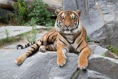 Красивейший тигр Стоковые Изображения RF