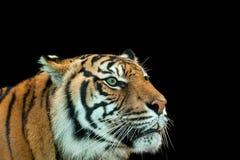 Красивейший тигр Стоковые Изображения