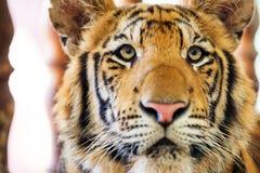 Красивейший тигр Стоковое Изображение