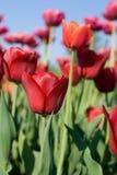 красивейший тюльпан весны цветков стоковое изображение