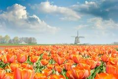 красивейший тюльпан красного цвета поля Стоковое Изображение RF