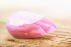 Красивейший тюльпан стоковое фото