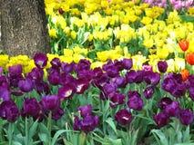 Красивейший тюльпан Стоковая Фотография RF