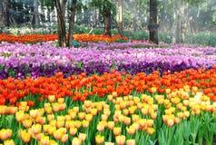 Красивейший тюльпан Стоковые Изображения