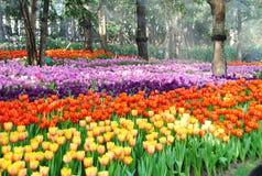Красивейший тюльпан Стоковое Изображение