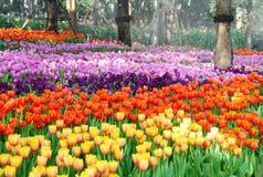 Красивейший тюльпан Стоковые Фотографии RF