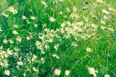красивейший лужок маргариток Стоковое Фото