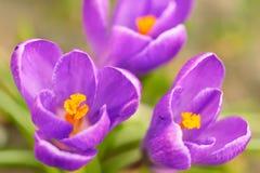 красивейший фиолет крокуса Стоковое Изображение RF