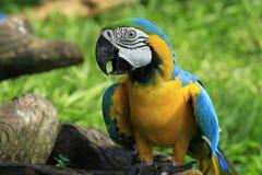 красивейший цветастый попыгай macaw Стоковые Фотографии RF