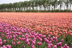 красивейший цветастый тюльпан Нидерландов полей Стоковая Фотография RF