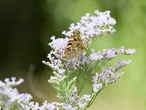 красивейший цветок бабочки Стоковые Изображения
