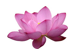 Красивейший цветок лотоса Стоковые Фотографии RF