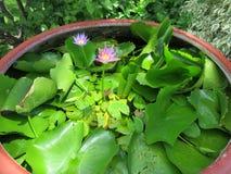 Красивейший цветок лотоса Стоковые Фото