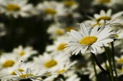 красивейший цветок маргаритки Стоковые Изображения