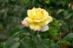 красивейший цветок поднял Стоковое Изображение RF