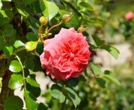 красивейший цветок поднял Стоковое Изображение