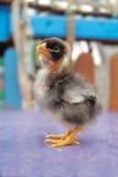 красивейший цыпленок пушистый немногая Стоковое Изображение RF