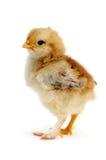 Красивейший цыпленок стоковое изображение