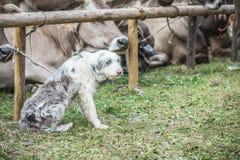 красивейший чабан собаки Стоковое Изображение