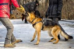 красивейший чабан собаки Стоковые Фото