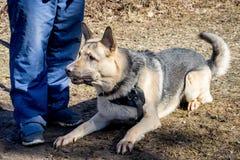 красивейший чабан собаки Стоковые Изображения RF