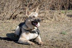 красивейший чабан собаки Стоковая Фотография RF