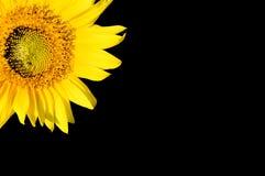 красивейший черный изолированный солнцецвет Стоковые Изображения