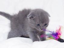 Красивейший шотландский молодой кот Стоковое Изображение RF