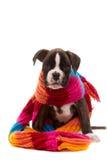 красивейший щенок боксера Стоковая Фотография