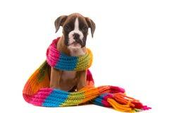 красивейший щенок боксера Стоковое фото RF